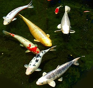 Carp - Six different colored koi and a small koi