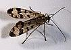 Skorpionsfliege Panorpa sp 7198.jpg
