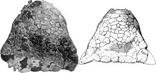 Photograph of dorsal view of fossilized skull next to sketch of the same
