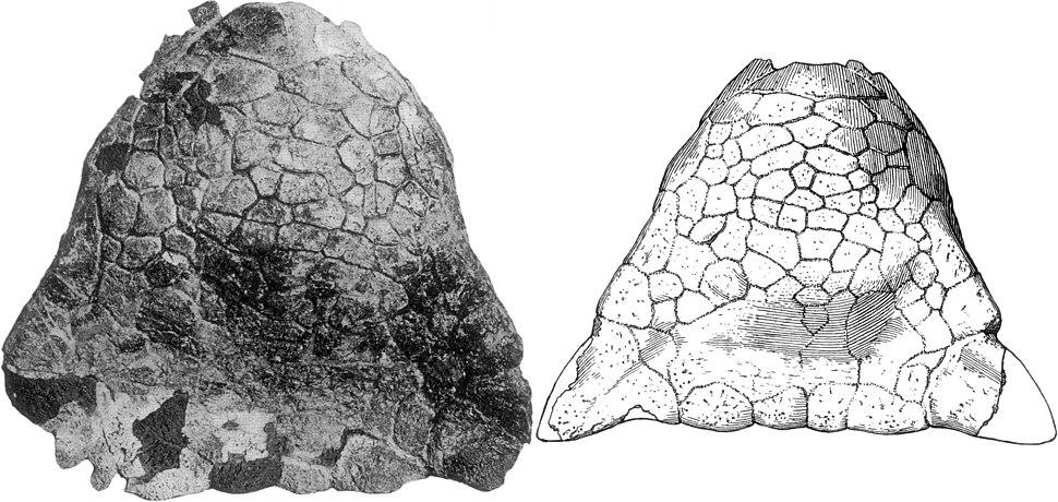 Skull of Ankylosaurus