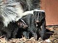 Skunks - Flickr - GregTheBusker (2).jpg