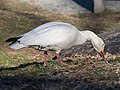 Snow goose in Central Park (33147).jpg