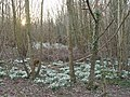 Snowdrops in Rendezvous Plantation - geograph.org.uk - 329032.jpg