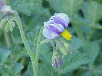 Solanum ambosinum2