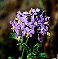 Solanum crispum ex. gayanum (8691859472).jpg
