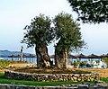 Solaris Šibenik olive trees.jpg