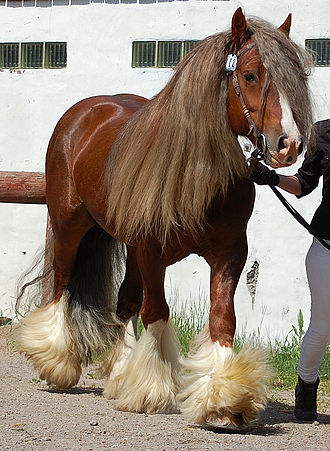 Gypsy horse - A solid-coloured cob
