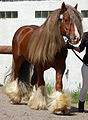 Solid chestnut coloured Gypsy Cob Horse 1.jpg