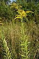 Solidago canadensis PID1502-3.jpg