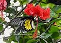 Southern Birdwing by Dr. Raju Kasambe DSCN7505 (13).jpg