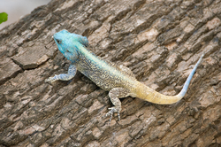 Southern Tree Agama 2348840851 rotated.png
