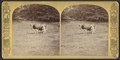 Spanish bull, from Robert N. Dennis collection of stereoscopic views.png