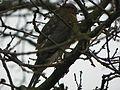 Sparrowhawk (Accipiter nisus) ♂.jpg