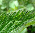 Speckled bush cricket (Leptophyes punctatissima) nymph, Sandy, Bedfordshire (7433240690).jpg