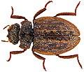 Spercheus senegalensis (10.3897-zookeys.656.11622) Figure 9.jpg