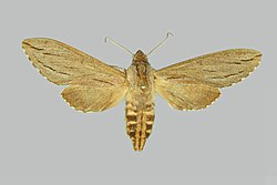 Sphinx sequoiae, female, upperside. United States, California.jpg