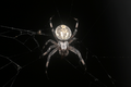 Spider at Night.png