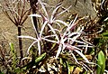Spider lily - Flickr - gailhampshire.jpg
