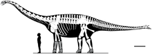 Diagram showing known bones of a long-necked dinosaur, with a human in front of it