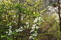 Spiraea prunifolia var. simpliciflora 2014년 4월 9일 (13768438754).jpg