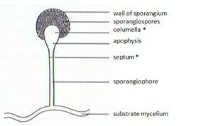 Zygomycota - Sporangium.