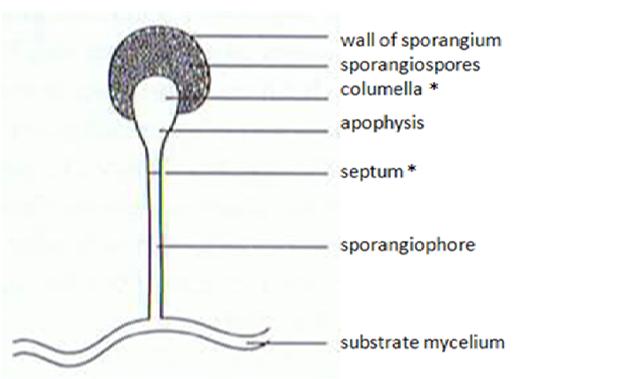 Septum Ring Designs