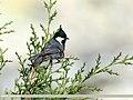 Spot-winged Tit (Periparus melanolophus) (35743899206).jpg