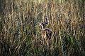 Spotted Deer at Tadoba.jpg