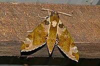 Spotted Green Hawkmoth (Cechenena helops helops) (23244270280).jpg