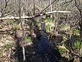 Spotted turtle spring swamp habitat - Great Swamp National Wildlife Refuge (30982171811).jpg