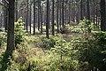 Spruce Saplings - geograph.org.uk - 205078.jpg