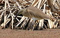 Squacco Heron, Ardeola ralloides at Marievale Nature Reserve, Gauteng, South Africa (15639973551).jpg