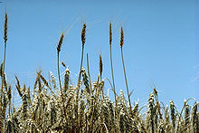 Standing wheat in Kansas.jpg