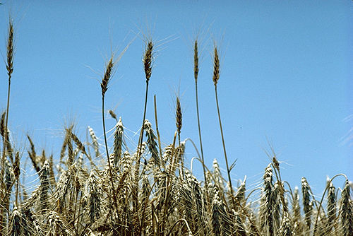 Standing wheat in Kansas, part of America's Breadbasket Standing wheat in Kansas.jpg