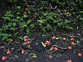 Starr-040209-0228-Spathodea campanulata-flowers on ground-Hana Hwy-Maui (24580641042).jpg