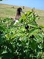 Starr-080602-5431-Solanum americanum-fruiting habit with Laysan albatross-Runway overrun fields Sand Island-Midway Atoll (24283867514).jpg