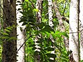 Starr-090714-2829-Swietenia macrophylla-leaves-Honokahau Valley-Maui (24968216155).jpg