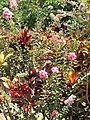 Starr-090720-3048-Lagerstroemia indica-flowering habit-Waiehu-Maui (24343306563).jpg