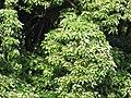 Starr-091104-8761-Aleurites moluccana-habit-Kaeleku Hana-Maui (24620392669).jpg