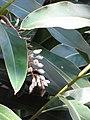 Starr-110209-0939-Alpinia zerumbet-flowers and leaeves-Resort Management Group Nursery Kihei-Maui (25075002965).jpg