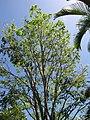 Starr-110330-4152-Pterocarpus indicus-habit-Garden of Eden Keanae-Maui (24988002361).jpg
