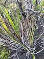 Starr-110810-7968-Dianella sandwicensis-habit-Trail from Oili Puu to Kapalaoa HNP-Maui (25076767146).jpg