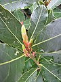 Starr-120305-3523-Laurus nobilis-leaves-Park Building 11 HNP-Maui (24841753010).jpg