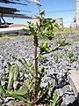 Starr-120329-3973-Senecio vulgaris-flowering habit-Near Stone building HNP-Maui (25111803786).jpg