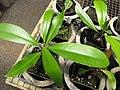 Starr-120522-6587-Ixora spectabilis-in pots-Iao Tropical Gardens of Maui-Maui (25050694071).jpg