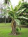 Starr-120606-6843-Musa x paradisiaca-Maoli Maia Koae or Manini variegated habit-Kahanu Garden NTBG Hana-Maui (25026141122).jpg