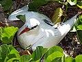 Starr-130913-1227-Ipomoea pes caprae subsp brasiliensis-habitat with juvenile Red Tailed Tropicbird-NW Lake-Laysan (24928434640).jpg