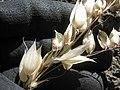 Starr-140630-4657-Avena sativa-seedheads-Sliding Sands HNP-Maui (25244079215).jpg