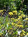 Starr-170224-0933-Brassica rapa var parachinensis-flowers-Hawea Pl Olinda-Maui (32567121783).jpg