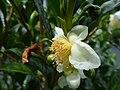 Starr-180919-0974-Camellia sinensis-flowers-Skyline Zipline Crater Rd-Maui (30876007407).jpg